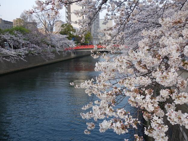 目黒川の櫻