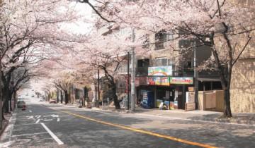 鷺沼の桜並木