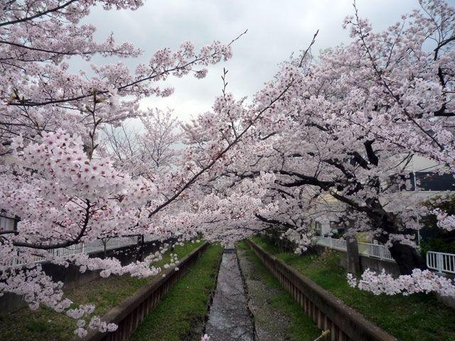 川沿いの住吉ざくらの桜