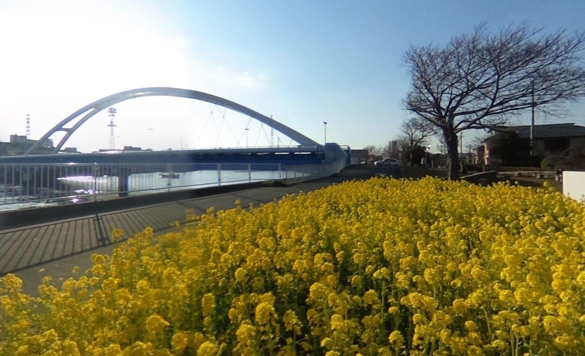 鶴見川に咲く菜の花