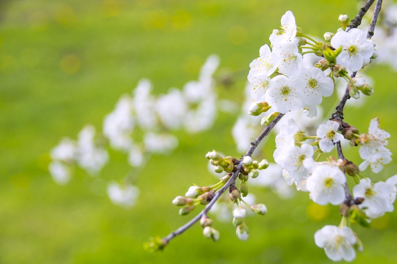 春に咲く桜