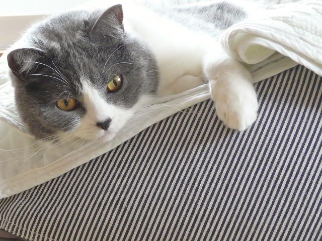 ブリティッシュショートヘアという猫
