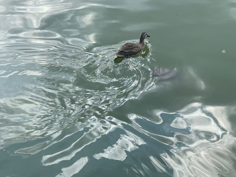 見次公園の池を泳ぐカモ