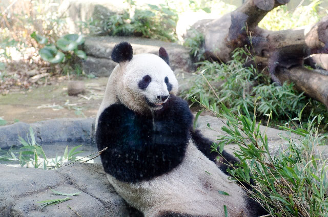 恩賜上野動物園のパンダ