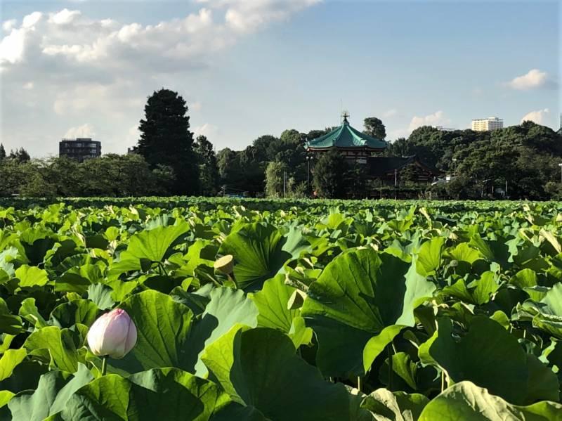 上野恩賜公園の不忍池