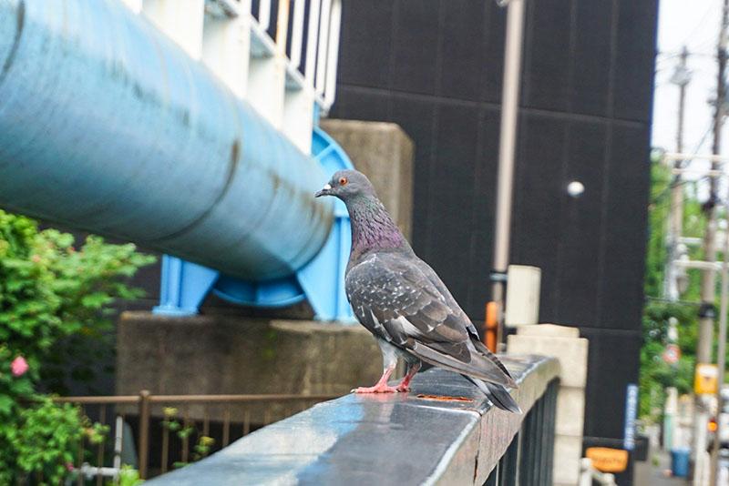 横に降り立った鳩