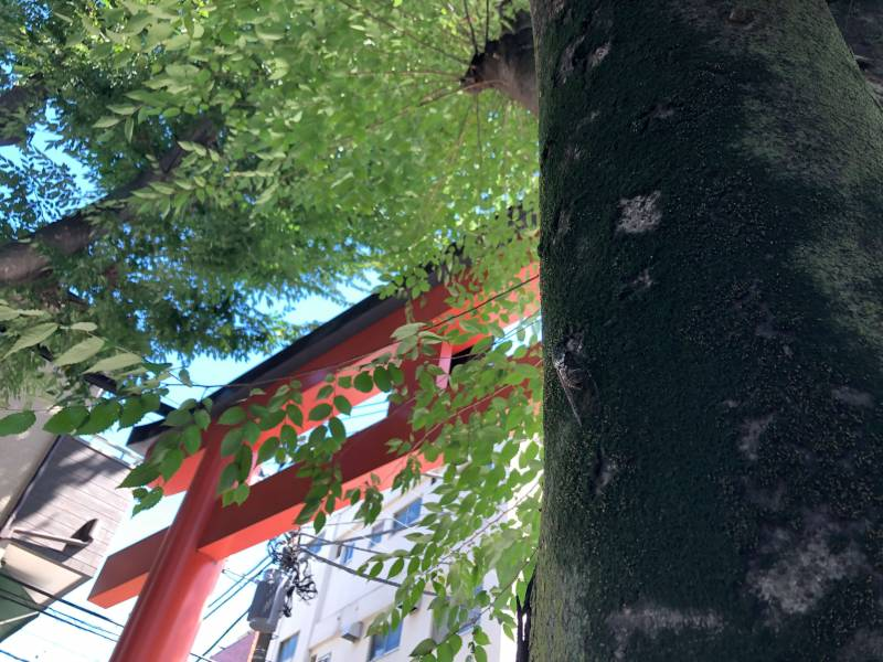 赤城神社の鳥居と木漏れ日とセミ
