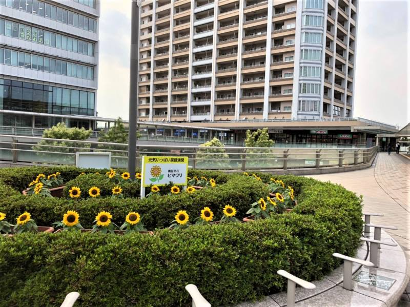 武蔵浦和駅のペデストリアンデッキのひまわり