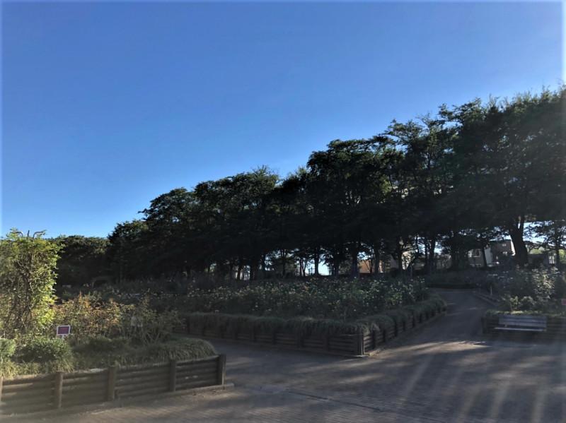 与野公園バラ園