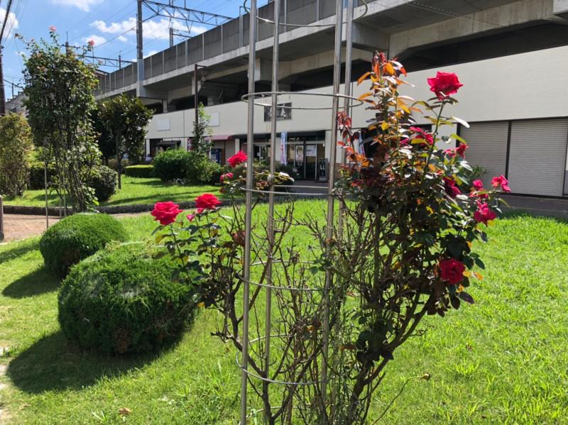 与野本町駅周辺のバラ