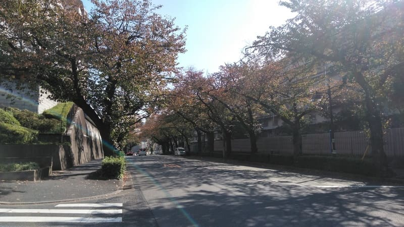 赤羽並木通り 桜並木