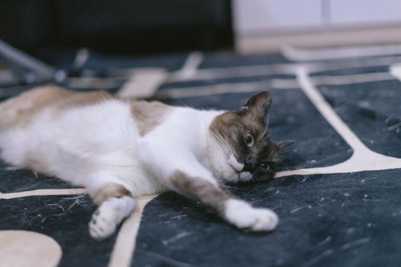 床に寝転がる猫