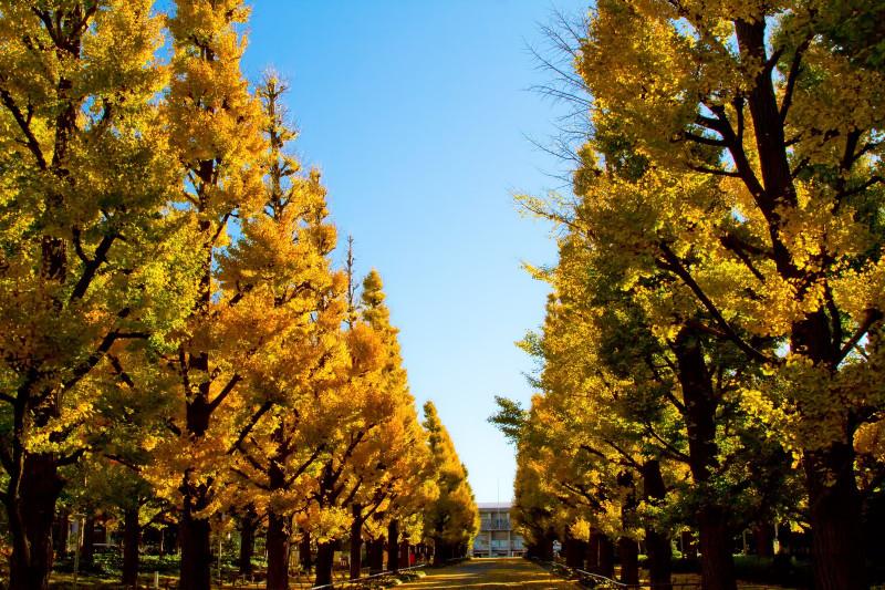 慶応義塾大学の黄葉した銀杏並木